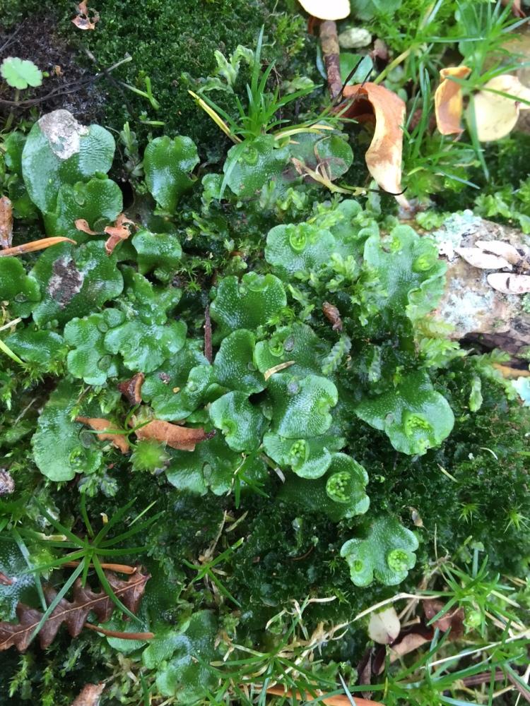 Liverwort and Bonsai (1/4)