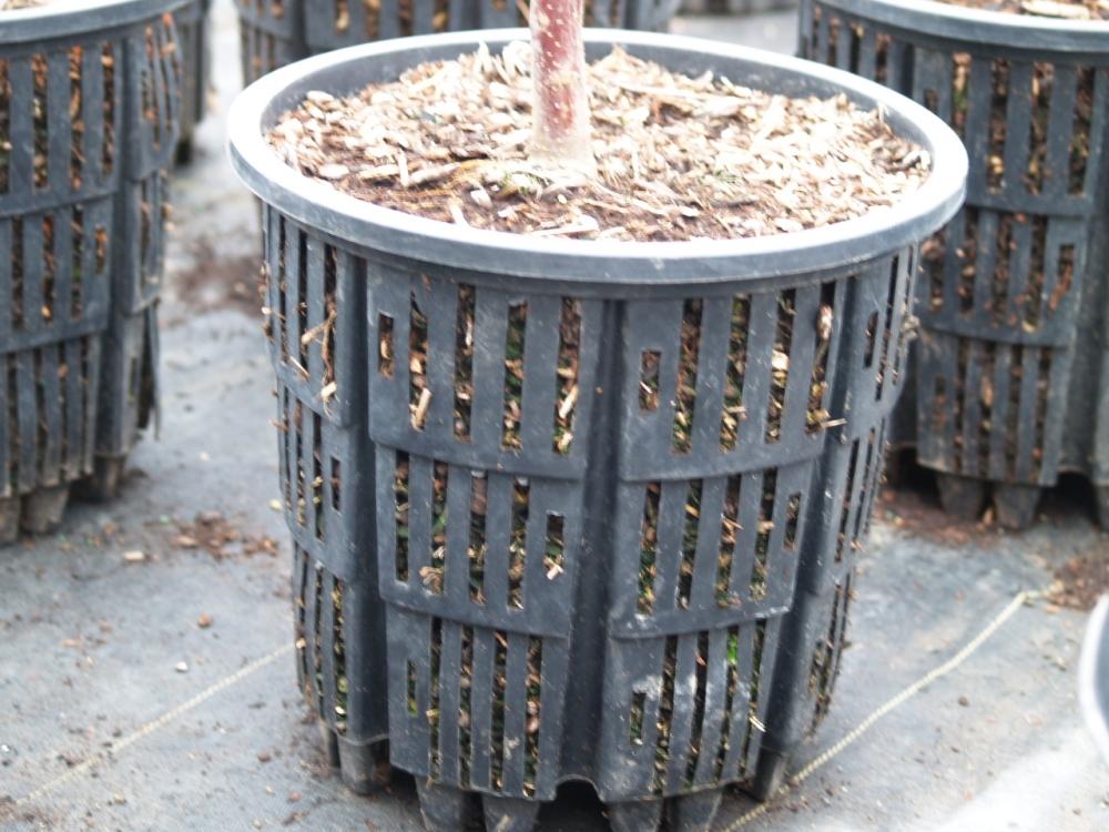 Root development in Bonsai (6/6)