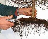 Root development in Bonsai (5/6)