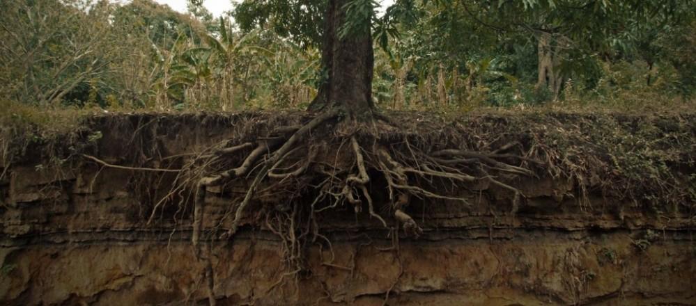Root development in Bonsai (1/6)