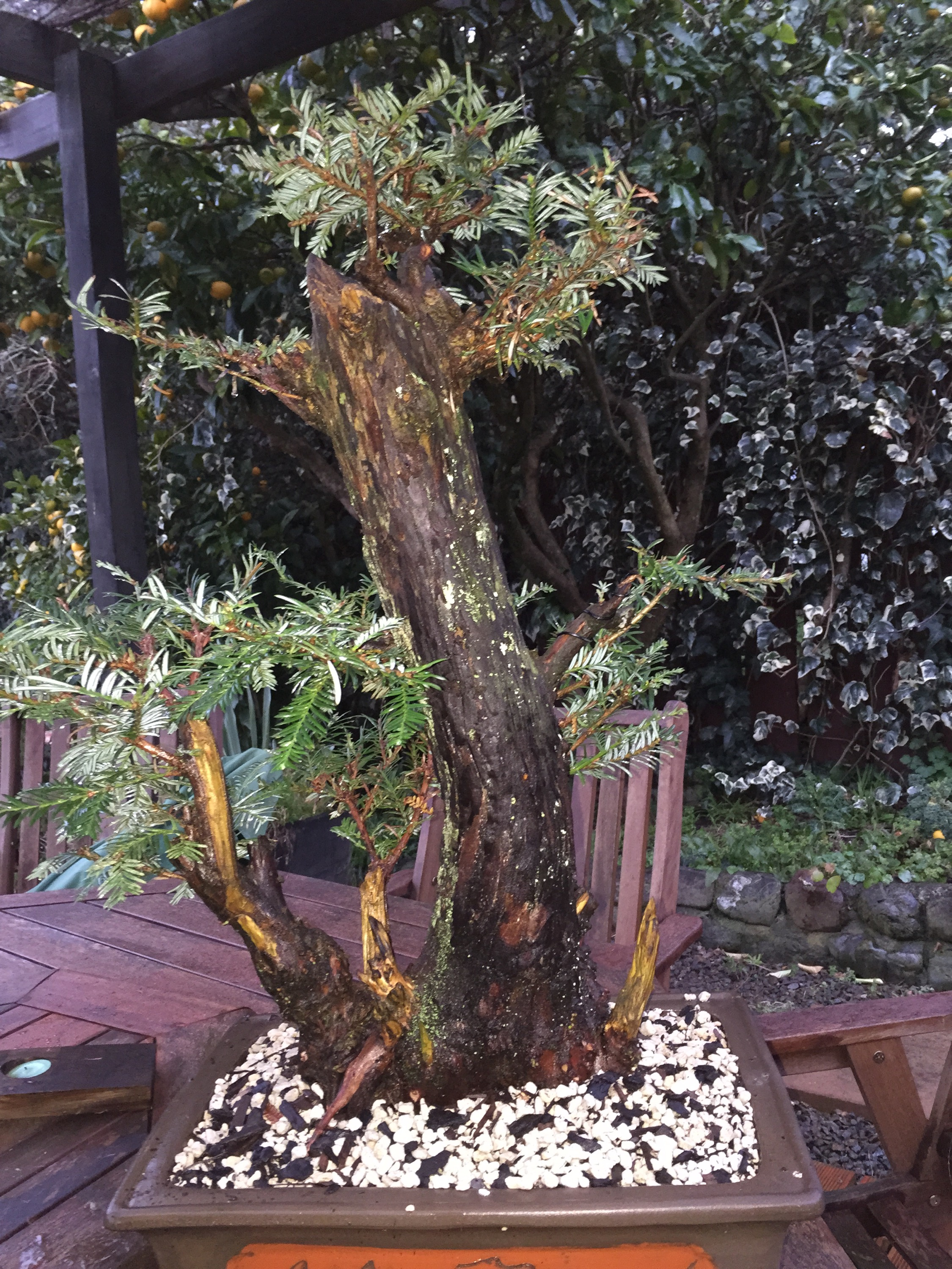 Redwood Meets Bonsai Pot For The First Time Bonsaiplace Wiring Rate This