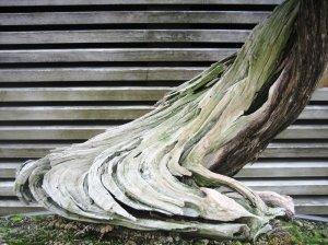 bonsai_huntington_library_2