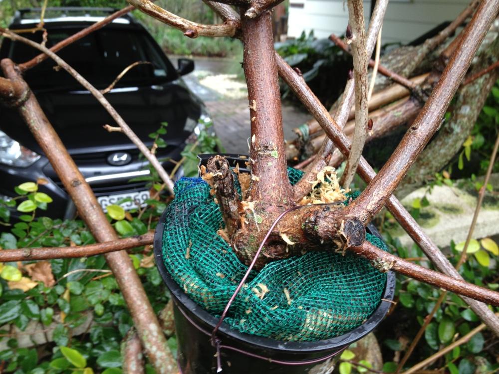 Sphagnum Moss and Bonsai (4/4)
