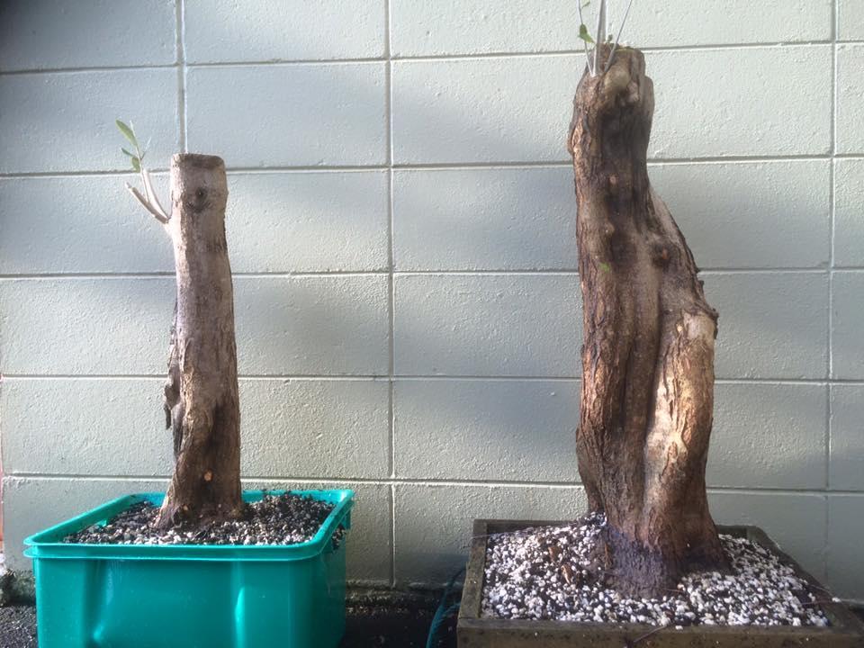 Sphagnum Moss and Bonsai (2/4)