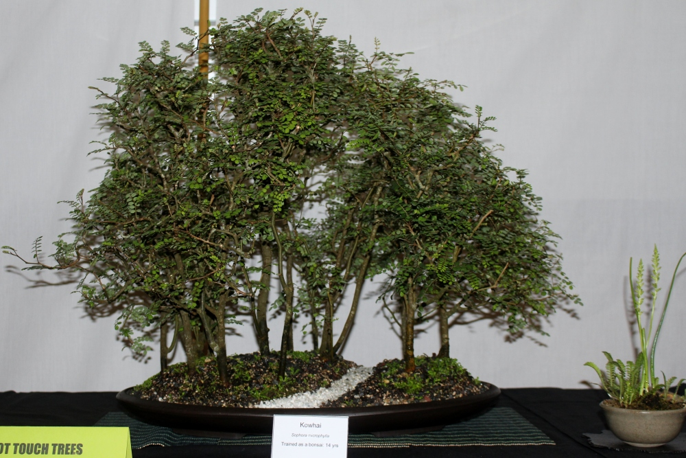 New Zealand National Bonsai Convention and Show (1) (4/6)