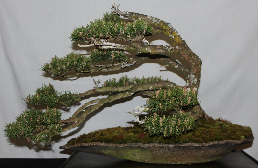 New Zealand National Bonsai Convention and Show (1) (5/6)