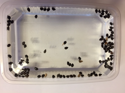 Top view of the seeds after placed in the water.