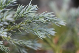 Conifer foliage 005