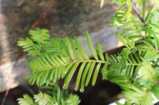 Conifer foliage 013