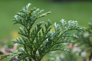 Conifer foliage 015