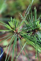 Conifer foliage 025