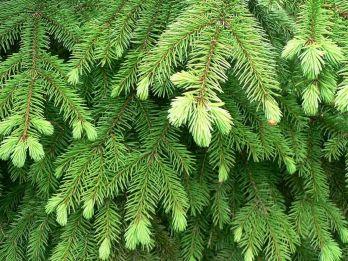 Norway_Spruce_foliage,_Fågelmara,_Sweden