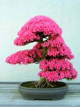satsuki-azalea-bonsai