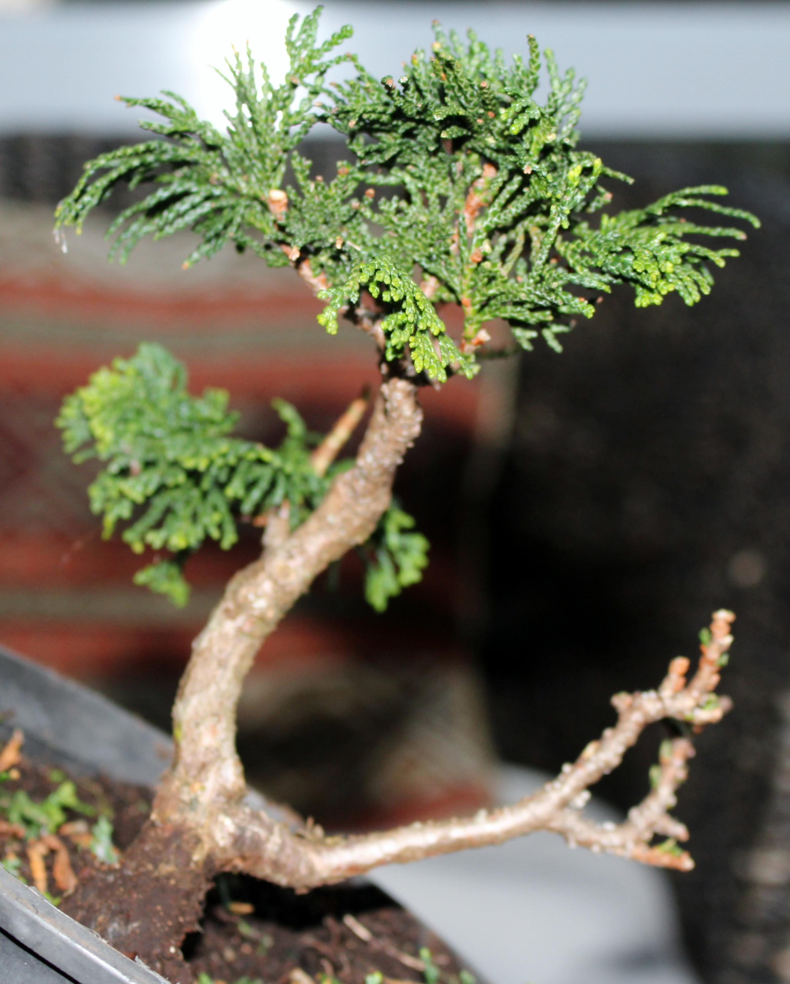 Chaemocyperus progression and Bonsai 021