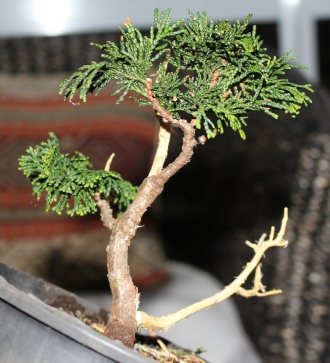 Chaemocyperus progression and Bonsai 023