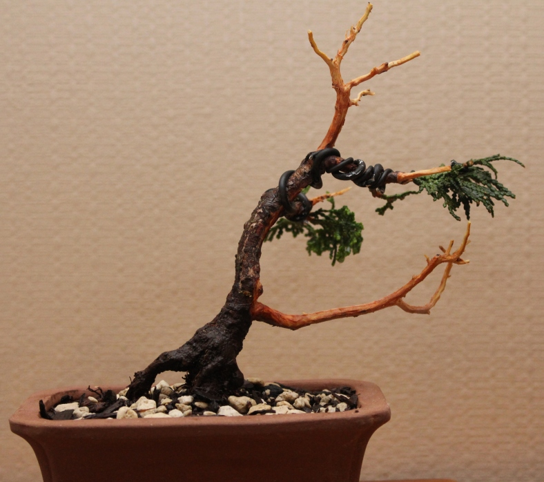 Chaemocyperus progression and Bonsai 027